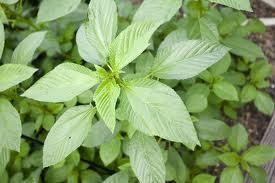 野菜の王様。 その色は緑なのに、人参よりもβカロテン豊富なのは有名。